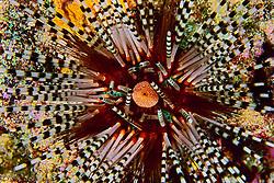 Close-up of banded sea urchin, Echinothrix calamaris, showing anal sac and venomous spines, Kona Coast, Big Island, Hawaii, Pacific Ocean