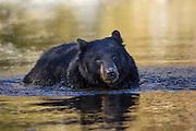 Black bear in Wyoming