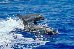 pantropical spotted dolphins wake-riding, Stenella attenuata, off Kona Coast, Big Island, Hawaii, Pacific Ocean.