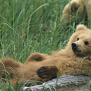 Alaskan Brown Bear cub lazily lounging in Katmai National Park, Alaska.