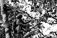 A Dusky Leaf Monkey (Trachypithecus obscurus) in Kaeng Krachan National Park, Thailand.