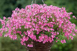 Diascia Romeo Bright Pink syn. 'Balromink' - Romeo Series - in a hanging basket