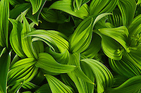 Corn Lily/False Helebore
