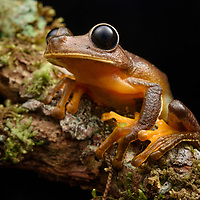 Inhabitants of cool mountain streams, Big-eyed Tree Frogs (Nyctimystes spp.) are nearly entirely restricted to the island of New Guinea (with a few species in Australia and the Moluccas). This species is endemic to the Arfak Mountains of western New Guinea. West Papua, Indonesia.