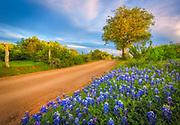 Bluebonnets in the Texas Hill Country near Burnet, Texas