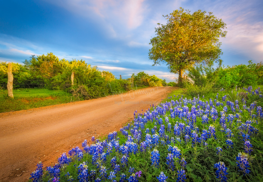 Bluebonnets in the Texas Hill Country near Burnet, Texas