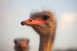 Close-up of an Ostrich's(Struthio camelus) head, South Africa