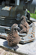 Guns and gooneys Midway was important World War two American base, and is now a protected area. Layson albatross chicks climb onto a gun base.
