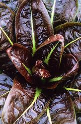 Chicory 'Treviso Rosso' syn. 'Rossa di Treviso'. Radicchio