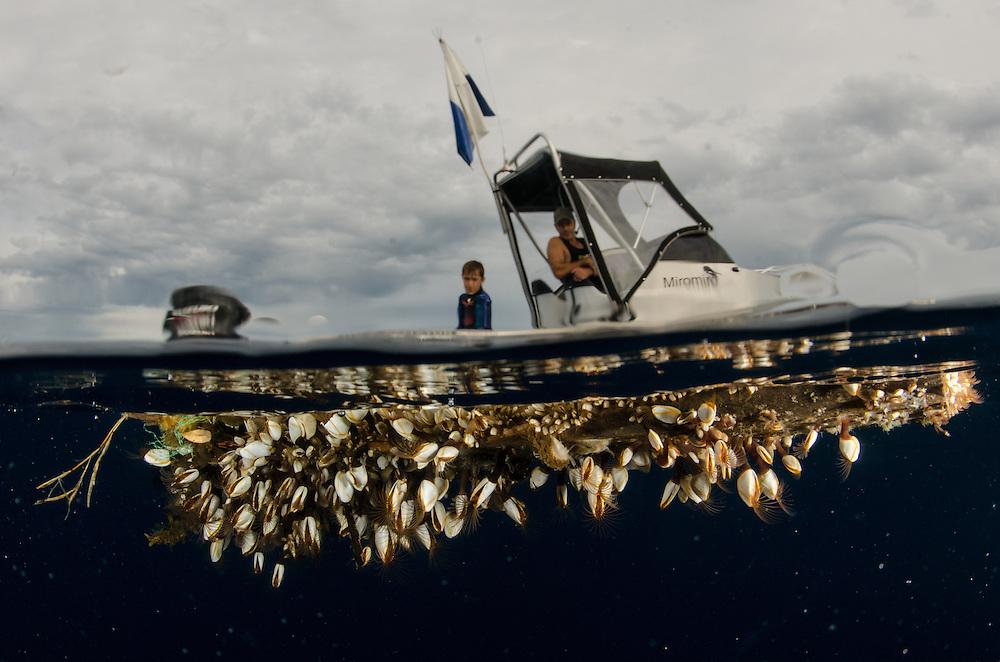 Flotsam under Miromiro. Gooseneck Barnacles