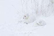 01863-01318 Two Arctic Foxes (Alopex lagopus) in snow Chuchill Wildlife Mangaement Area, Churchill, MB Canada