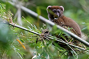 Southern lesser bamboo lemur (Hapalemur meridionalis) from Nahampoana Private Reserve, Madagascar.