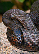 This female Northern Water Snake (Nerodia sipedon) is hunting near the edge of a marsh.  Northern Water Snakes are found throughout eastern and central North America, from southern Ontario and southern Quebec in the north, to Texas and Florida in the south.  They can grow up to 135 cm (4 ft 5 in) in total length.  Adult females can weigh up to 408 g (14.4 oz) in average body mass while the smaller males average up to 151 g (5.3 oz). The largest females can weigh up to 560 g (20 oz) while the largest males are 370 g (13 oz). <br /> <br /> The northern water snake is nonvenomous but can give a painful bite.  They superficially resemble the venomous cottonmouth and are often misidentified. Being active during the day and night, they hunt using both smell and sight. During the day, they hunt among plants at the water's edge, looking for small fish, frogs, worms, leeches, crayfish, salamanders, small birds and mammals. At night, they concentrate on minnows and other small fish sleeping in shallow water.