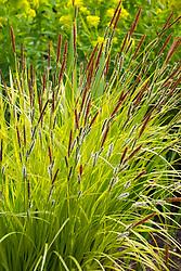 Carex elata 'Aurea' - Bowles golden grass