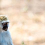 A vervet monkey sits watchfully at Tarangire National Park in northern Tanzania not far from Ngorongoro Crater and the Serengeti.