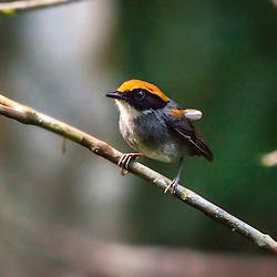 Cuspidor-de-máscara-preta macho, registrado em Santa Teresa, ES, é uma ave encontrada exclusivamente no Brasil, na região da Mata Atlântica que se estende da Paraíba até Santa Catarina.