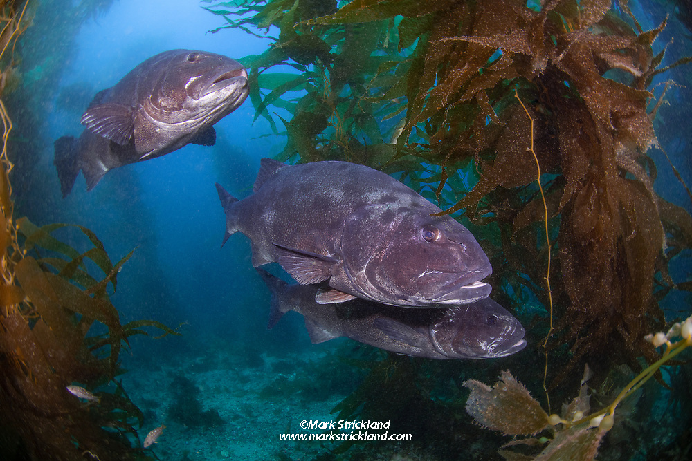 A trio of Giant Black Seabass, Stereolepis gigas, hover among stalks of Giant Kelp, Macrocystis pyrifera.  Casino Point Underwater Park, Catalina Island, California, USA, Pacific Ocean
