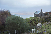 Highland sheep near Applecross on the 4th November 2018 on the Applecross Peninsula on the west coast of Scotland in the United Kingdom.