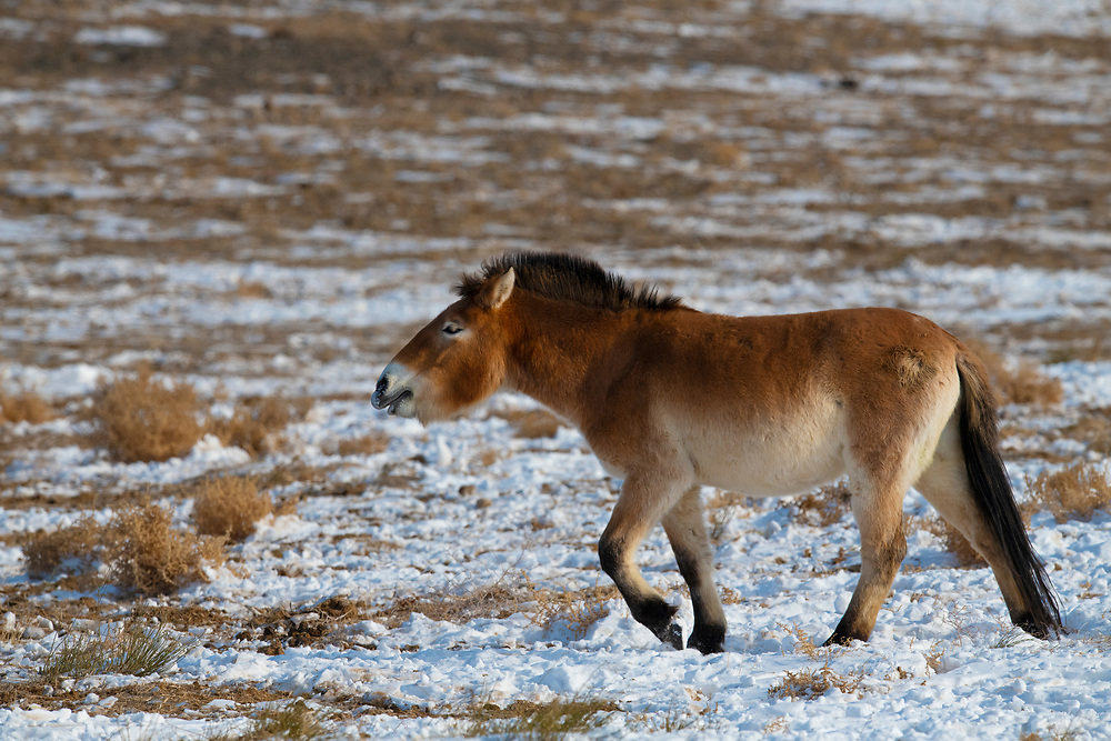 Przewalski's horse, stallion, Equus przewalskii or Equus ferus przewalskii, also called the Mongolian wild horse or Dzungarian horse, Kalamaili National Nature Reserve, Xinjiang, China. These individuals rounded up into a feeding enclosure during winter, for reasons of increased survival possibilities for the species. Wild, but in a temporary enclosure over winter.