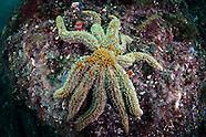 Asteroidea (Starfish of New Zealand).