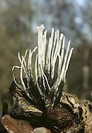 Candlesnuff Fungus - Xylaria hypoxylon
