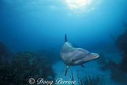 Honey, a wild sociable bottlenose dolphin, or ambassador dolphin, Tursiops truncatus, Lighthouse Reef Atoll, Belize, Central America ( Caribbean Sea )