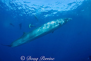 Bryde's whale, Balaenoptera brydei or Balaenoptera edeni, with California sea lions and striped marlin, off Baja California, Mexico ( Eastern Pacific Ocean )