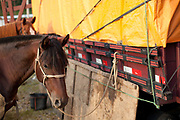 Brown horse standing next to horse transport. Gaucho cowboy Rodeo, Flores de Cunha, Rio Grande do Sul.