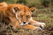 Close-up portrait of lioness sleeping, Serengeti National Park. © David A. Ponton