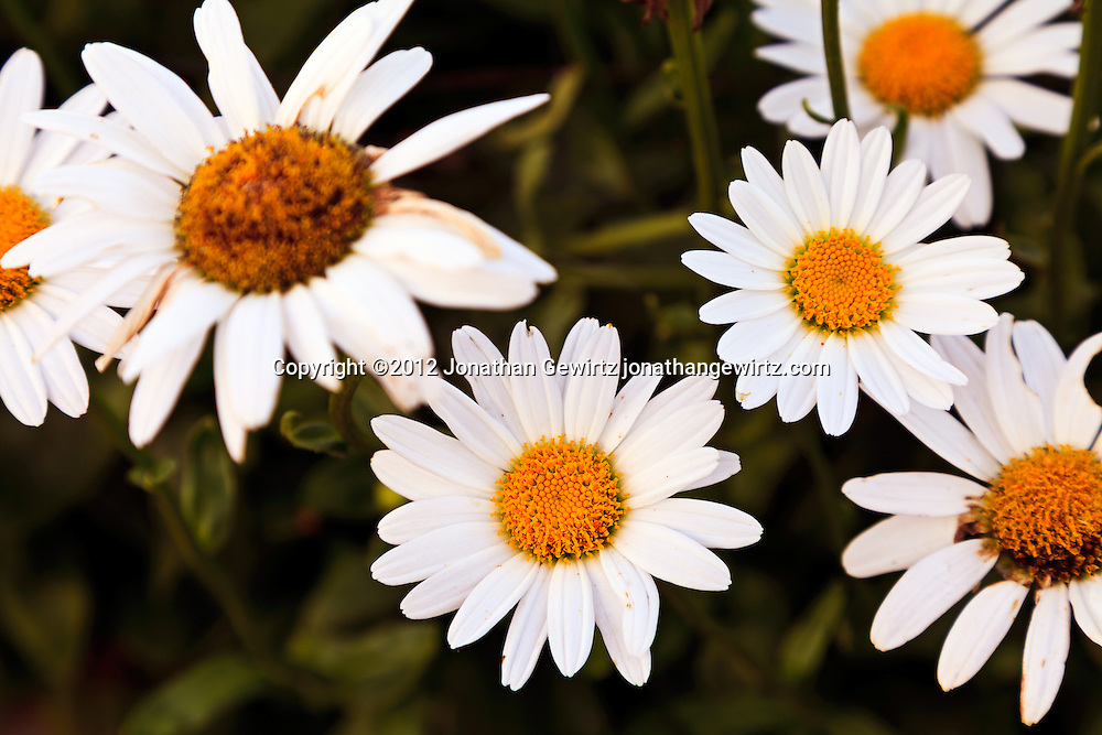 Daisy flowers (Bellis perennis or Leucanthemum vulgare of the Asteraceae family) in a garden. WATERMARKS WILL NOT APPEAR ON PRINTS OR LICENSED IMAGES.