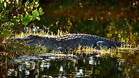 Florida Alligator Waiting for the Morning Sun to Get Warm in a Canal along Black Point Wildlife Drive in Merritt Island National Wildlife Refuge. Image taken with a Nikon D700 and 28-300 mm VR lens (ISO 640, 300 mm, f/5.6, 1/320 sec)
