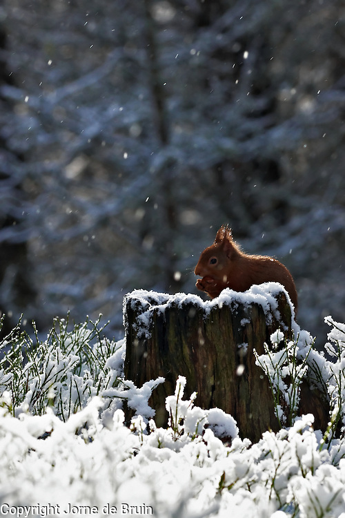 A red squirrel is sitting on a tree trunk eating a nut while it's snowing in a clearing in the forest in the Cairngorms National Park in Scotland.
