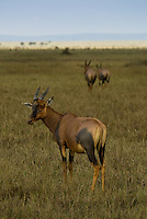 Three Topi in the Masai Mara National Park, Kenya