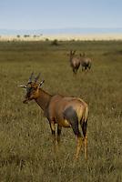 Three Topi in the Masai Mara National Park, Kenya