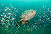 Goliath Grouper, Epinephelus itajara, gather next to the Mispah shipwreck offshore Singer Island, Florida, United States, during a spawning aggregation in August 2014. Fish with spawning coloration.