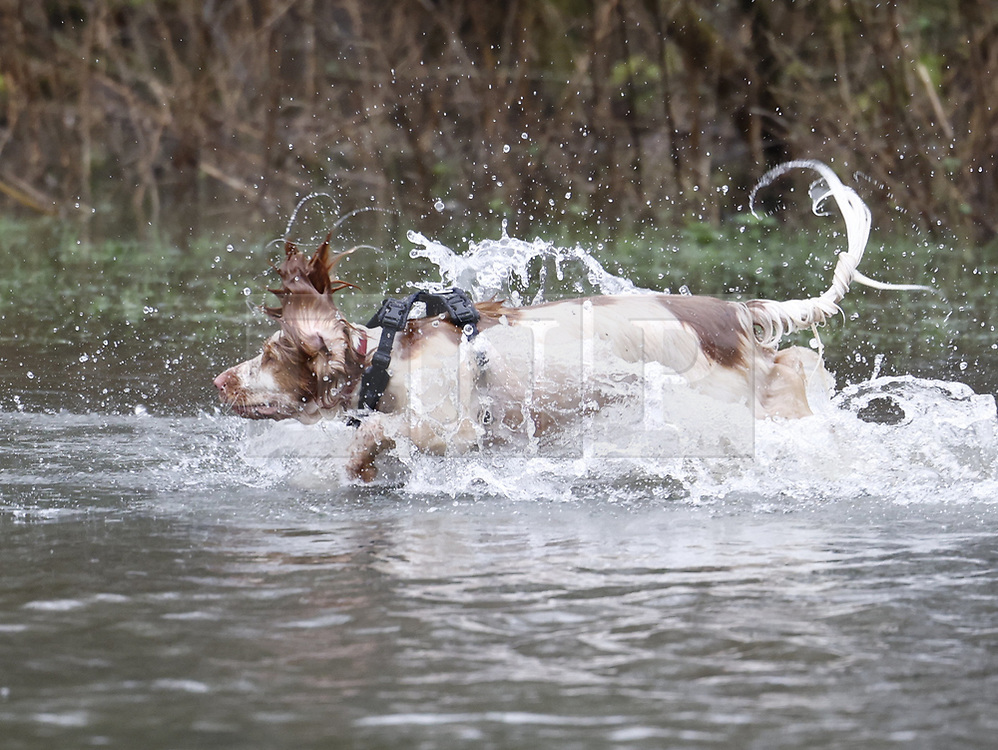 © Licensed to London News Pictures. 30/01/2021. Rickmansworth, UK. A dog run through rising floodwater at a nature reserve in Rickmansworth. Days of heavy rain have lead to flood warnings for some areas in the south. Snow flurries are expected as far south as London this weekend. Photo credit: Peter Macdiarmid/LNP