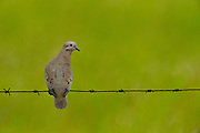 Eared Dove (Zenaida auriculata)<br /> Savannah<br /> Rupununi<br /> GUYANA. South America<br /> RANGE: South America from Colombia to southern Argentina and Chile, and on the offshore islands from the Grenadines