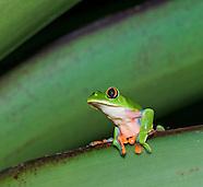 Blue-sided treefrog, Agalychnis annae