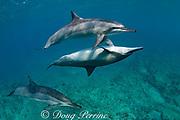 Hawaiian spinner dolphin or Gray's spinner dolphin or long-snouted spinner dolphins ( Stenella longirostris longirostris ), courtship / socializing, Kaupulehu, Kona Coast, Big Island, Hawaii ( Central Pacific Ocean )