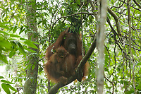 """Adult female Walimah with one month old infant.<br />In heavy rain, taking shelter with a """"cape"""" of leafy branches heald over head and back.  But note branches still attached to tree.  Distinct from typical """"leaf umbrella"""" where branches are broken off.<br /><br /><br />Bornean Orangutan <br />Wurmbii Sub-species<br />(Pongo pygmaeus wurmbii)<br /><br />Gunung Palung Orangutan Project<br />Cabang Panti Research Station<br />Gunung Palung National Park<br />West Kalimantan Province<br />Island of Borneo<br />Indonesia"""