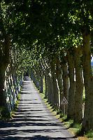 France, Aude (11), Ventenac-en-Minervois, la D26 bordé de platane // France, Languedoc-Roussillon, Aude (11), road D26 at Ventenac-en-Minervois