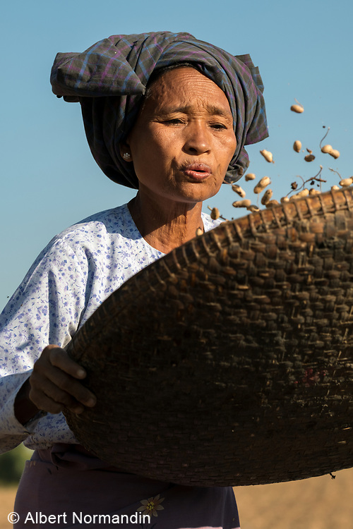 Woman peanut farmer shaking and separating the nuts, harvest time, Bagan, Myanmar
