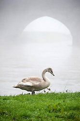 © Licensed to London News Pictures. 28/10/2019. Builth Wells, Powys, Wales, UK.A juvenile swan is seen on the banks of the river Wye after the level has dropped back to normal. After recent days of relentless rain, and severe flooding from the river Wye, cold weather and fog hit Powys with temperatures dropping to below freezing last night in the small market town of Builth Wells. Photo credit: Graham M. Lawrence/LNP
