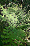 Ferns in Watagan Mountains, Australia