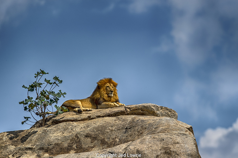 This is a quintessential image of power, strength and courage.  I watched as he sauntered up the side of the kopje and assumed his position atop the outlook.  I couldn't help but anticipate Rafiki walking up behind him and present Simba to all the other animals.