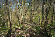 "Spring in broadleaved forest with lots of  common hazel (Corylus avellana) on slopes of small streams running towards river Ruņa, nature reserve ""Ruņupes ieleja"" (dabas liegums ""Ruņupes ieleja""), Kurzeme, Latvia Ⓒ Davis Ulands | davisulands.com"