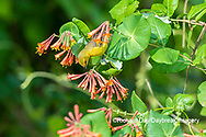 01618-01413 Orchard Oriole (Icterus spurius) female getting nectar on Dropmore Scarlet Honeysuckle Lonicera x brownii Marion Co. IL