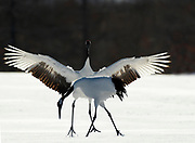 Red Crowned Crane, Grus japonensis, Pair displaying, dancing, wings open, Hokkaido Island, japanese, Asian, cranes, tancho, crested, white, black,  wilderness, wild, untamed, photography, ornithology, snow