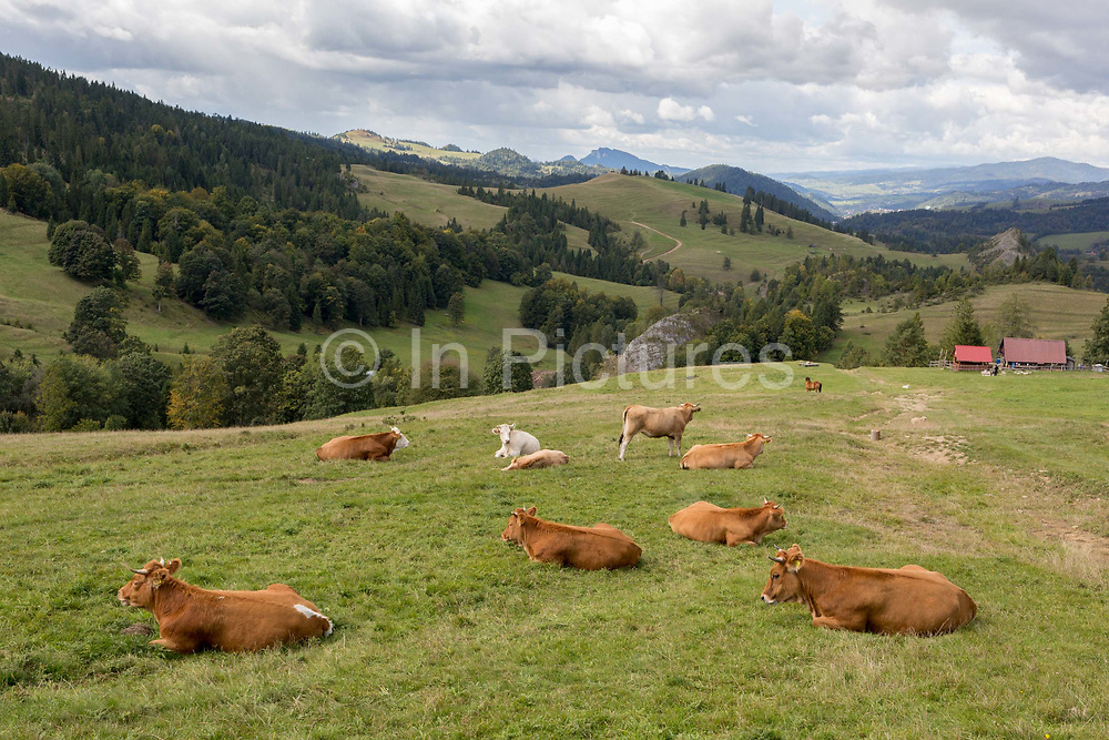 With the Slovakian border on the distant forested ridge, cattle graze on Polish agricultural land in southern Poland, on 20th September 2019, Biala Woda, Jaworki, near Szczawnica, Malopolska, Poland.