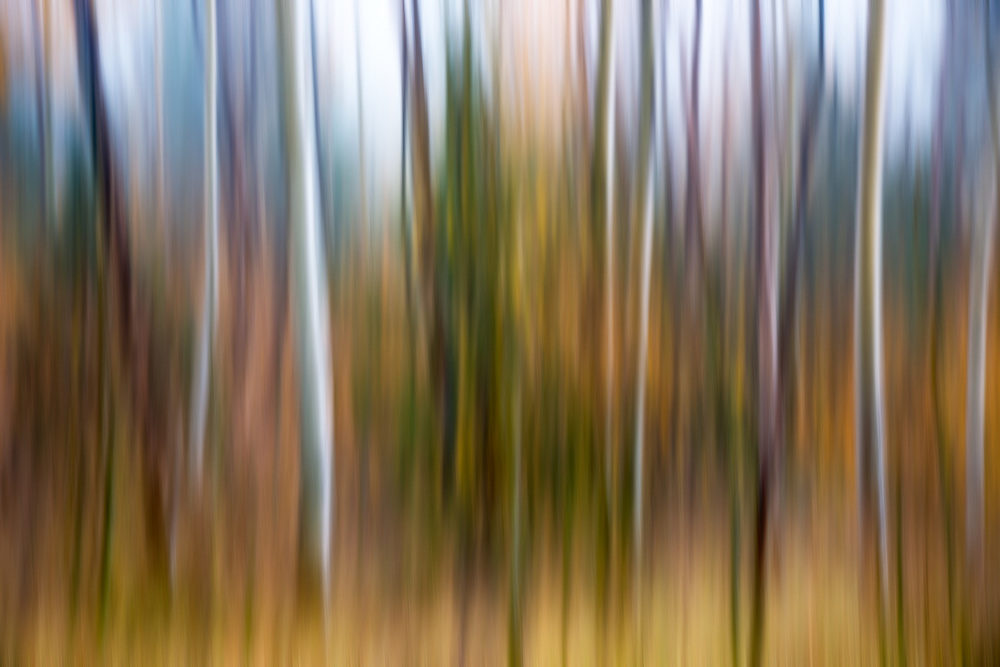 Limited Editions of 8<br /> Tree Blur of Aspens and Evergreens on Galena Summit in Central Idaho